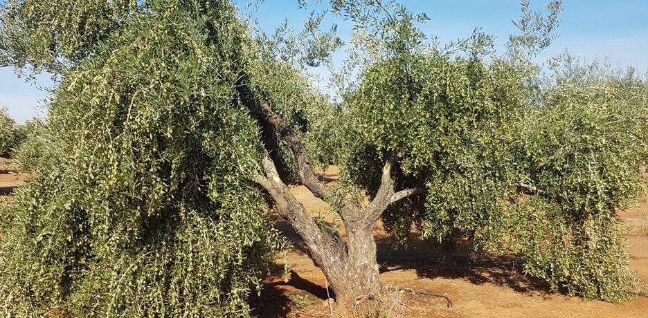 Pies olivo Picual Jaén
