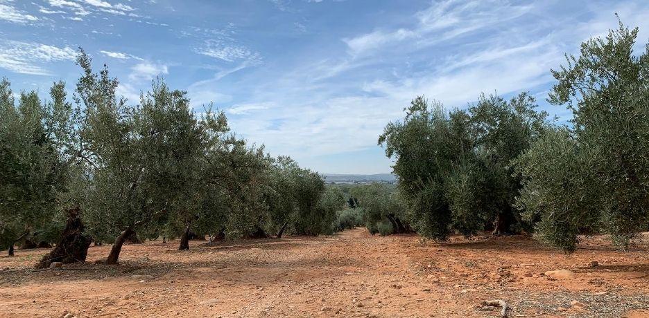 Sistemas de cultivo del olivar: del convencional al biodinámico
